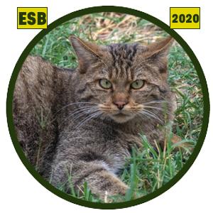 Gato montés europeo (Felis silvestris silvestris)