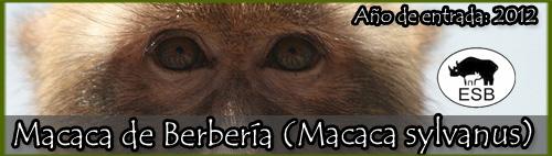 Macaca de Berbería (Macaca sylvanus)
