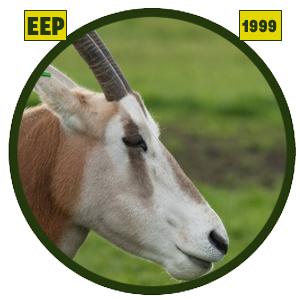 Orix cimitarra (Oryx dammah)