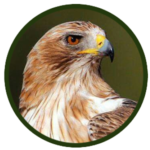 Águila calzada