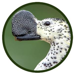Pato crestudo