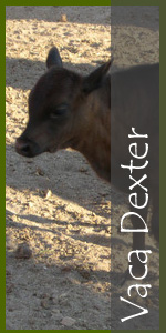 Vaca Dexter