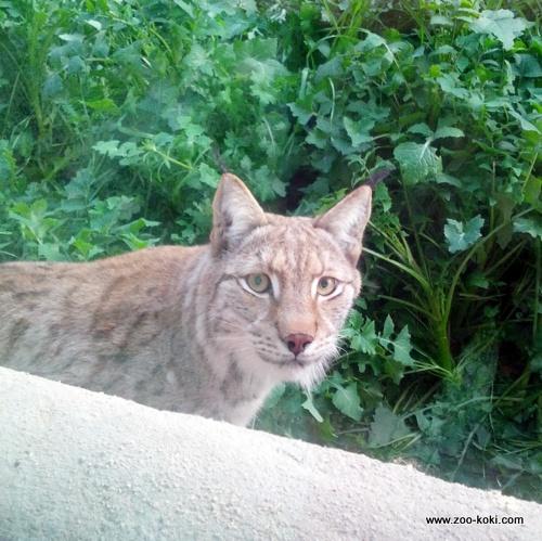 Gaspar - Lince Euroasiático (Lynx lynx lynx)
