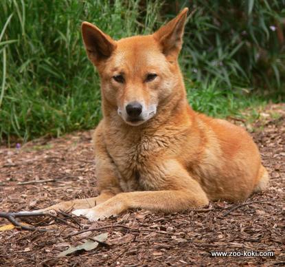 Dingo444